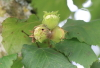 Corylus avellana L