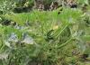 Courgette, Cucurbita pepo var. cylindrica.