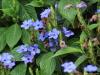 Eranthemum pulchellum Andrews