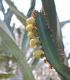 Euphorbia canariensis, Euphorbe des Canaries.