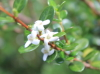Fernelia buxifolia Lam