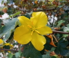 Fremontodendron californicum (Torr.) Coult
