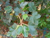 Fremontodendron californicum, frémontia de Californie.