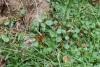 Hydrocotyle bonariensis Lam. Herbe Tam-tam.