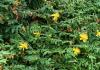 Hypericum calycinum L, Millepertuis à grandes fleurs.