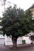 Jamalac - Syzygium samarangense. Fruit flore de La Réunion
