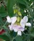 Lathyrus odoratus, Pois de senteur.