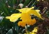 Narcissus pseudonarcissus L