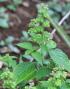 Ocimum campechianum, Grand basilic