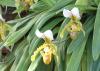 Paphiopedilum insigne (Wall. ex Lindl.) Pfitzer