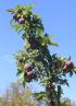 Prunus domestica, prune, prunier.