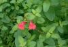 Salvia microphylla, Sauge de Graham