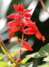 Salvia splendens Sellow ex Wied-Neuw