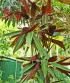 Stromanthe thalia.
