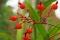 Stromanthe thalia, fruits.