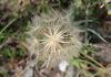Tragopogon pratensis L Salsifis des prés