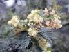 Acacia mearnsii De Wild
