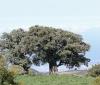 Acacia heterophylla Willd