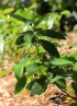 Acalypha integrifolia Willd.