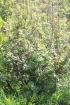 Acer rubrum L