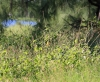 Achyranthes aspera L