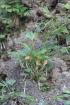 Actiniopteris semiflabellata Pic.Serm.