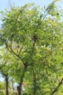 Adenanthera pavonina L.