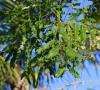 Adenanthera pavonina. Bois noir rouge.
