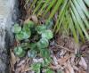 Adiantum reniforme L. var. asarifolium (Willd.) Sim.