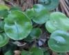 Adiantum reniforme L. var. asarifolium (Willd.) Sim