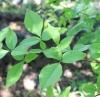 Aegle marmelos (L.) Corrêa