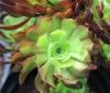 Aeonium arboreum Webb & Berthel