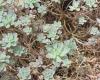 Aeonium decorum Webb ex Bolle