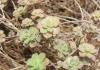 Aeonium mascaense Bramwell