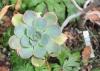 Aeonium percarneum (RPMurray) Pit. & Proust