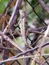 Calotes versicolor.