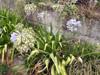Agapanthe, Lis du Nil. Agapanthus