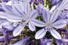 Fleurs Agapanthe, Lis du Nil. Agapanthus