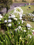 Agapanthe blanche, Lis du Nil. Agapanthus