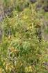 Agarista salicifolia (Comm. ex Lam.) G. Don.