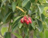 Agarista salicifolia. Bois de rempart.