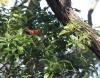 garista salicifolia, Bois de rempart.