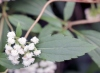 Feuille et fleurs Ageratina riparia.