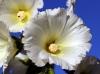 Fleur : Alcea rosea, Rose trémière