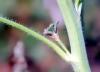 Tige : Alcea rosea, Rose trémière