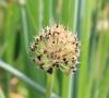 Allium cepa L
