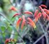 Aloe bulbillifera H.Perrier