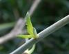 Aloe bulbillifera. Bulbille.