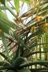 Aloe marlothii A.Berger.