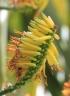 Aloe marlothii A.Berger